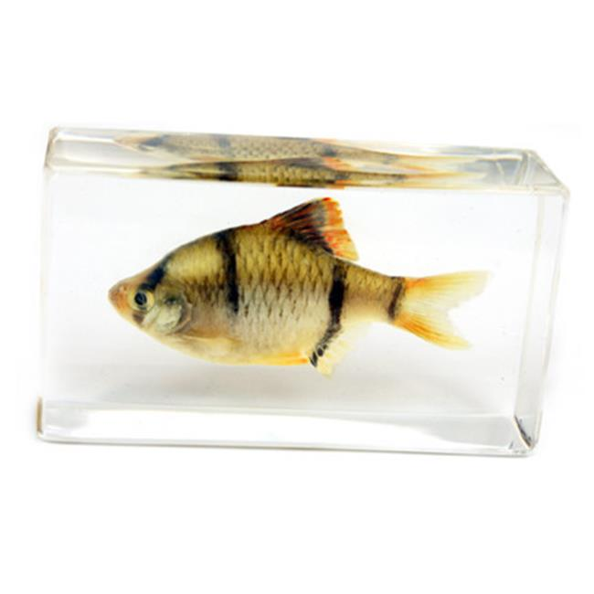 ED SPELDY EAST FH206 Paperweight  Fish  Medium  Tiger  Barb