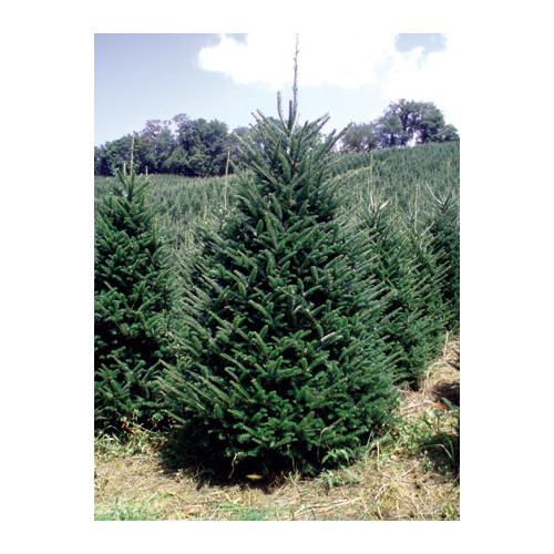 Real Christmas Trees Delivered 6.5' - 7' Green Fir Freshly Cut Christmas Tree