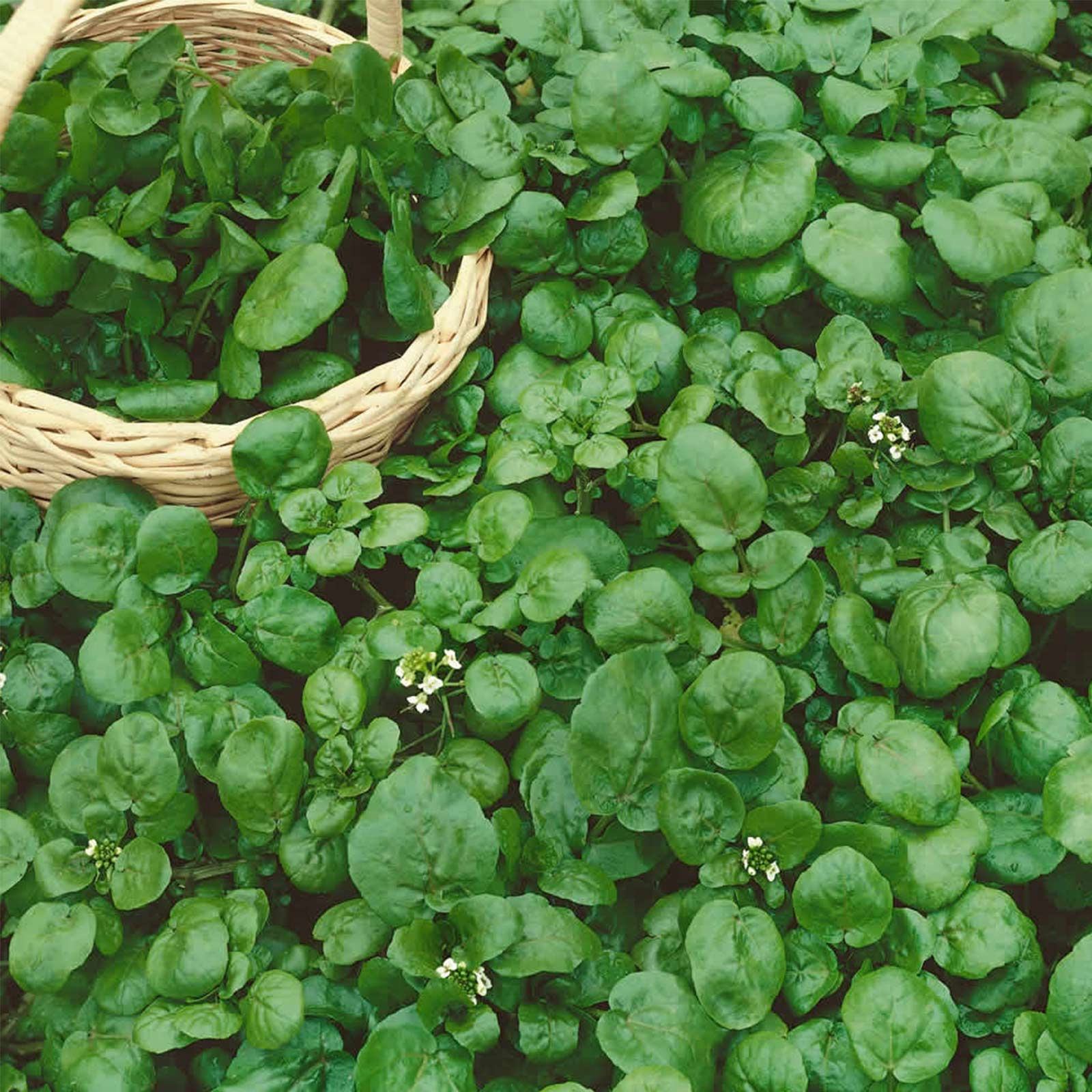 CURLED CRESS SEEDS 500 edible herbs GREEN LEAFY vegetables GARDEN FREE SHIPPING
