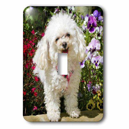 3dRose Colorado, Summit County, Teacup poodle dog - US06 BJA0070 - Jaynes Gallery, Single Toggle Switch