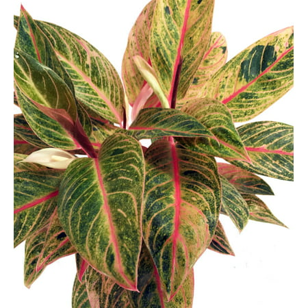 Tropical Plates (Tropical Passion Chinese Evergreen Plant -Aglaonema- Grows in Dim Light - 6