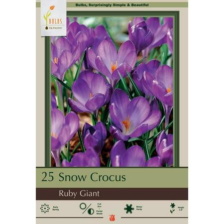 Ruby Giant Snow Crocus 25 Bulbs - Very Hardy - Perennial - 5/+ cm Bulbs