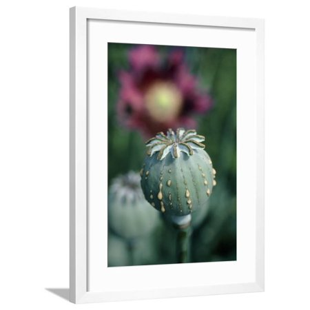 Collecting Opium From Poppy Seed Capsule Framed Print Wall Art By Dr.