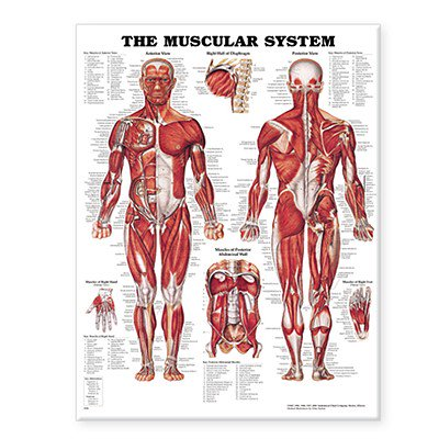 The Muscular System Anatomical Chart-Paper (Anatomical Chart Series)