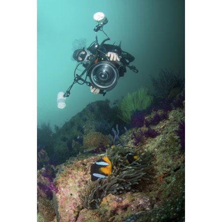 Underwater photographer capturing the picture of a black and orange clownfish in its anemone Dibba Oman Poster - Clownfish Anemone