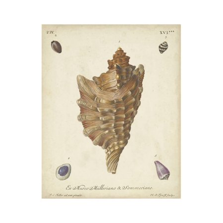 Antique Knorr Shells VI Print Wall Art By Knorr