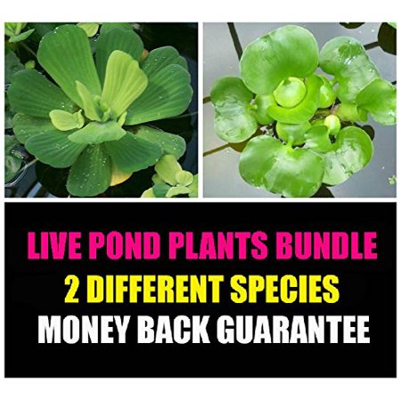 2 Floating Live Pond Plants - Watter Lettuce and Water (Water Hyacinth Pond Plant)