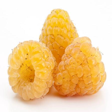 Golden Raspbery - 5 Golden Raspberry Plant - Everbearing - Organic Grown -