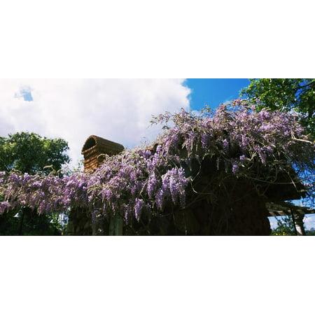 Lilacs Flowers at Kuleto Estates Winery, St. Helena, Napa County, California, USA Print Wall Art