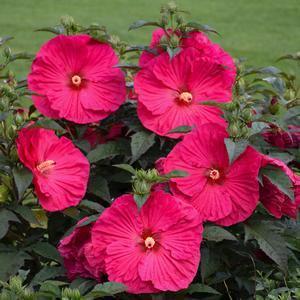 Perennial Hibiscus - Hibiscus-Summer-in-Paradise - 5