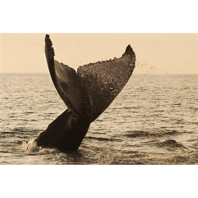 Design Pics DPI1974176 USA Hawaii Islands Humpback Whale Fluking Its Tail in Golden Sunset - Maui Poster Print, 18 x 12 - image 1 de 1