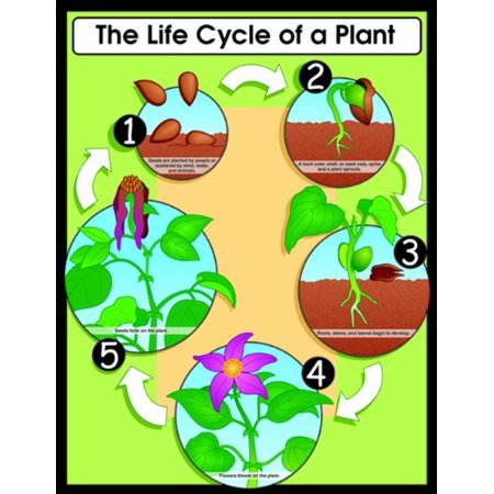 Carson Dellosa The Life Cycle of a Plant Chart (6358), 17