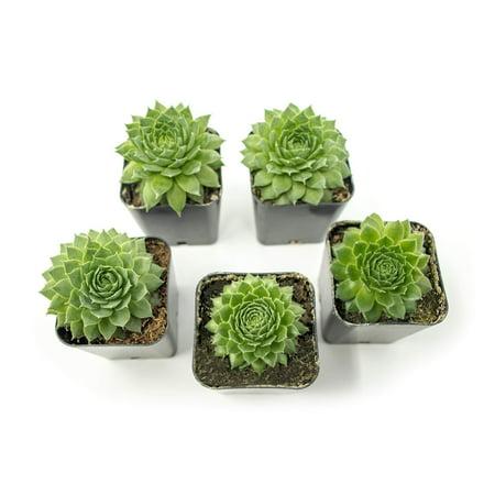 Fractal Succulents(5 Pack) Live Sempervivum Houseleek SucculentRooted in Pots | Flowering Plant Leaves /Geometric Rosettes by Plants for Pets