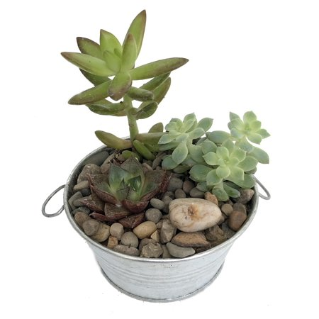 Silver Tin Succulent Garden - 3 Different Plants + Decorative Stone - 4