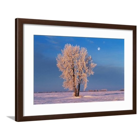 Canada, Manitoba, Dugald. Hoarfrost on cottonwood tree and setting moon. Framed Print Wall Art By Jaynes Gallery