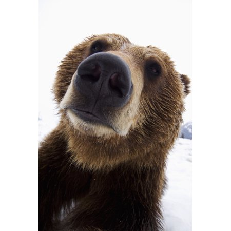 Captive Wide Angle Close Up Of A Brown Bear At The Alaska Wildlife Conservation Center Southcentral Alaska Stretched Canvas - Doug Lindstrand  Design Pics (22 x (Animals Close Up With A Wide Angle Lens)