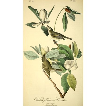 Birds of America 1844 Warbling Vireo Stretched Canvas - JJ Audubon (18 x - Warbling Birds