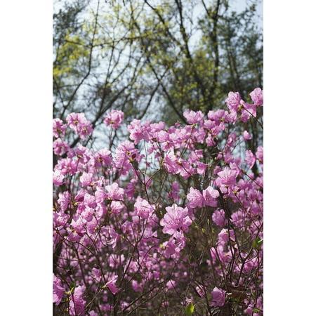 Framed Art for Your Wall Spring Flowers Korea Azalea Spring Mountain Nature 10x13 (Korean Spring)