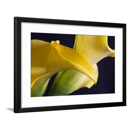Graceful Calla Lilies Framed Print Wall Art By Bob Rouse