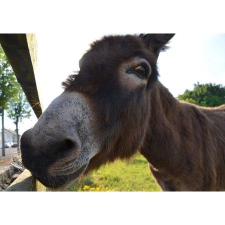 Donkey Head (Canvas Print Nature Mule Head Muli Animal Donkey Stretched Canvas 10 x)