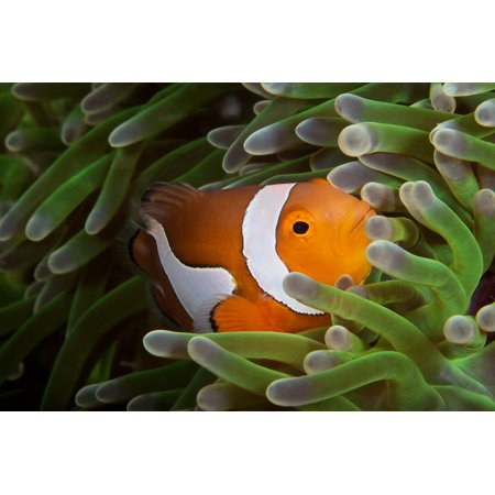 False Ocellaris Clownfish in its host anemone Papua New Guinea Poster Print by Terry MooreStocktrek - Clownfish Anemone