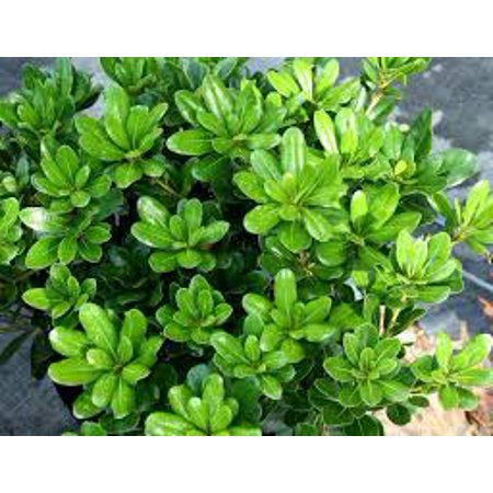 Evergreen Shrub For Hedge For Sun