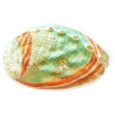 One Russian Abalone Shell (2.5-3