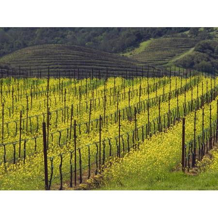 Oakville Napa Valley - Springtime Mustard Flowers, Napa Valley, Oakville, California Print Wall Art By Janis Miglavs
