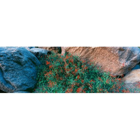 Wildflowers on rocks Anza Borrego Desert State Park Borrego Springs San Diego County California USA Stretched Canvas - Panoramic Images (27 x (Anza Borrego Wildflowers Best Time)