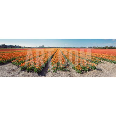 Field with Endless Rows of Tulips in Various Colors in the Netherlands, near the Keukenhof Flower S Print Wall Art By (The Netherlands Tulips)
