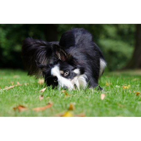 Funky Borders - LAMINATED POSTER Funny Border Collie British Sheepdog Bizarre View Poster Print 24 x 36
