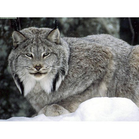 Laminated Poster Canadian Lynx Canada Cat Bobcat Wild Animal Snow Poster Print 24 x (Bobcat Snow)