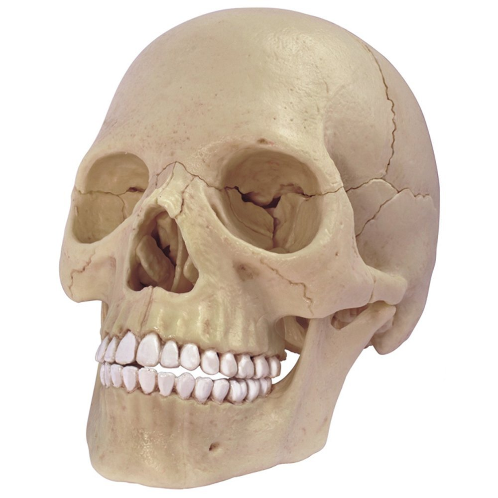26086 Human Anatomy Exploded Skull Model 3d Puzzle One Color