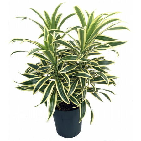 House Tree (Song of India Dragon Tree - Pleomele - Dracaena -6
