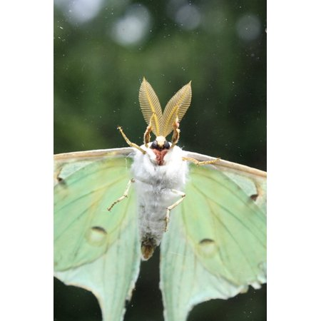 LAMINATED POSTER Flying Luna Moth Wings Bugs Green Moth Insect Poster Print 24 x