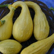 Ferry Morse Fm Foil Squash Early Summer Crookneck