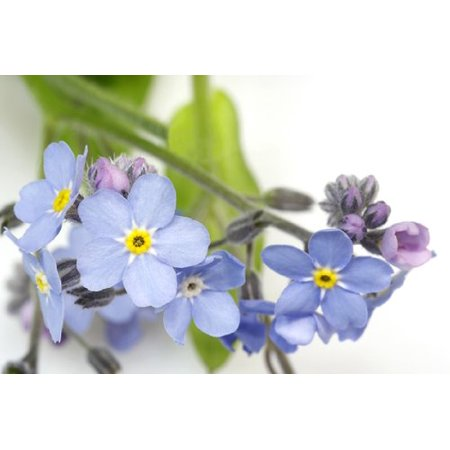 Myosotis (Forget Me Not) Blue Bird Nice Garden Flower 1,000