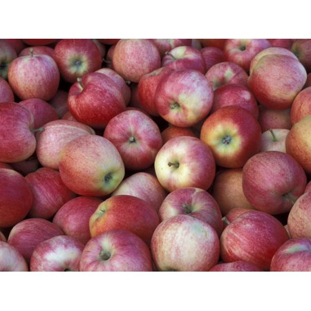 Freshly Picked Gala Apples, Monitor, Washington, USA Print Wall Art By Jamie & Judy Wild ()