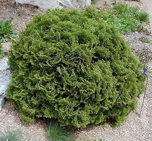 hertz midget and evergreen