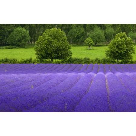 5,000 TRUE ENGLISH LAVENDER VERA Lavender Augustifolia Vera Herb Flower Seeds
