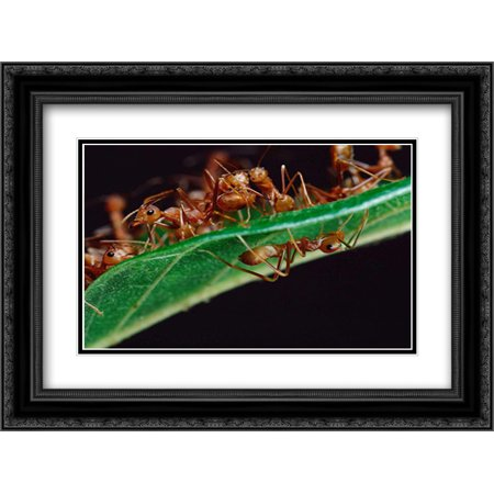 Green Tree Ants on leaf with Ant-mimicking Jumping Spider hiding below, Sri Lanka 2x Matted 24x18 Black Ornate Framed Art Print by Moffett, Mark - Black Jumping Spider