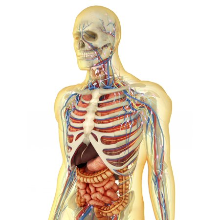 Transparent human body with internal organs nervous system lymphatic system and circulatory system Poster Print - Organs Human Body