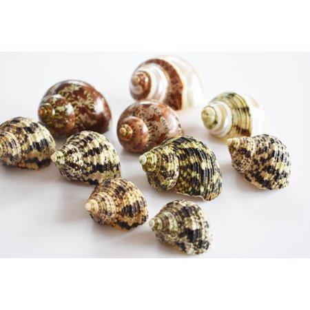 Select 10 Hermit Crab Shells Deluxe Turbo Changing Seashells MEDIUM 1