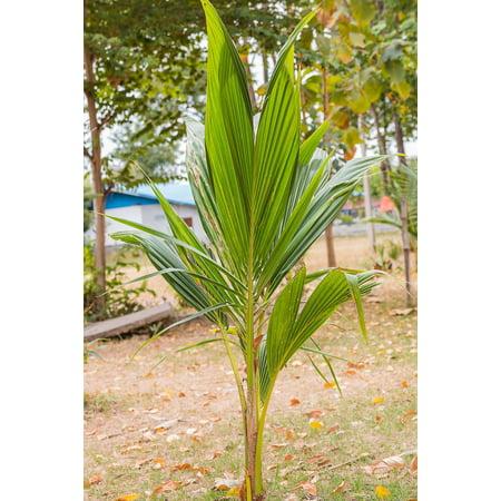 Coconut Tree (Green) Hawaiian, Dwarf Malayan, 60 inch (Excludes:CA) (Coconut Tree Seeds)