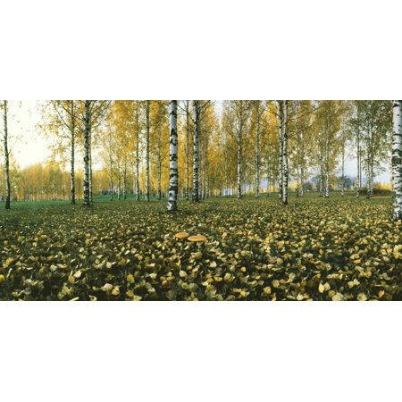 View of fallen leaves and Birch trees by the Vuoksi River, Imatra, Finland Print Wall Art ()