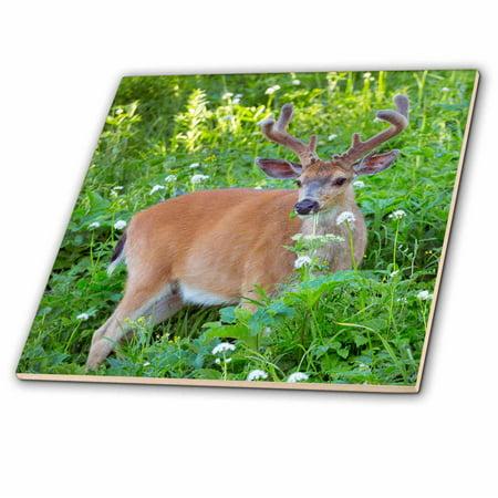 - 3dRose Columbia Black-tailed deer in velvet, Hurricane Ridge, Olympic NP. WA. - Ceramic Tile, 6-inch