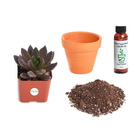 Echeveria Plant - Shop Succulents Echeveria 'Black Prince' 2In Plant Kit