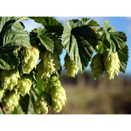 """Chinook Beer Hops Vine - Humulus - Grow your own Beer! - 2.5"""" Pot"""