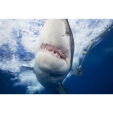Great white shark (Carcharodon carcharias)  attracted to the cage with bait that can be seen in the background Guadalupe Island Mexico Canvas Art - Dave Fleetham  Design Pics (19 x 12)