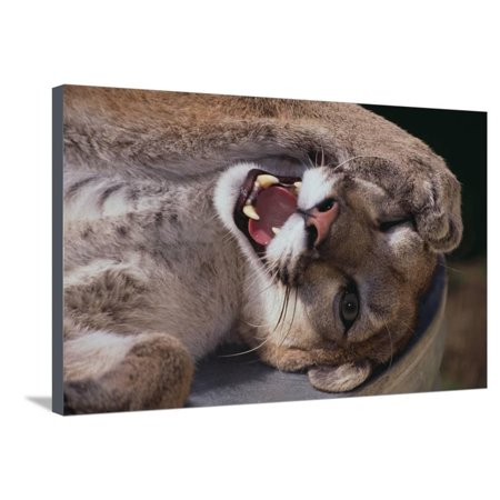 Mountain Lion with Paws on Face Stretched Canvas Print Wall Art By DLILLC](Lion Paw Print)
